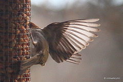 Greenfinch - Tail down for Landing