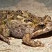 Crinia parinsignifera (Eastern Sign-bearing Froglet)