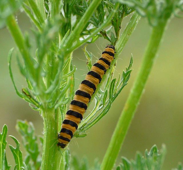 Cinnabar Moth Caterpillar -Top