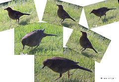 Juvenile Blackbirds