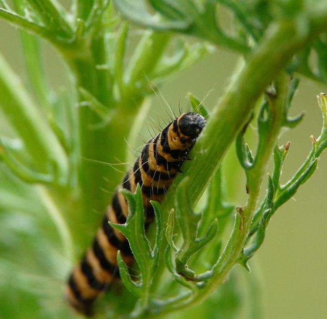 Cinnabar Moth Caterpillar -Face