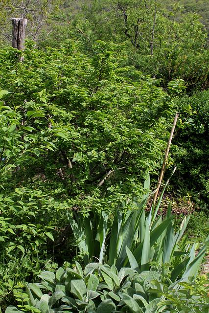 Ulmus parvifolia 'Jacqueline Hillier '