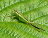 Short Winged Conehead