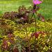 Geranium robertianum, Géranium herbe-à-Robert (Géraniacées), Lot, France
