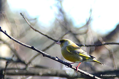 Greenfinch - summoning up the courage to land on the bird feeder