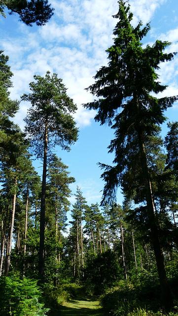 Brede High Wood Trees
