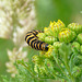 Cinnabar Moth Caterpillar -Food Plant