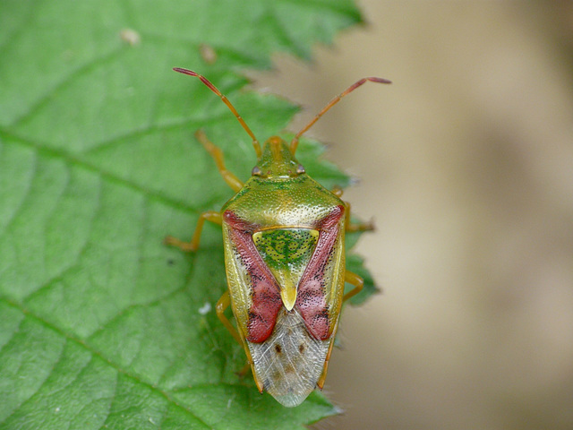 Juniper Shieldbug 2