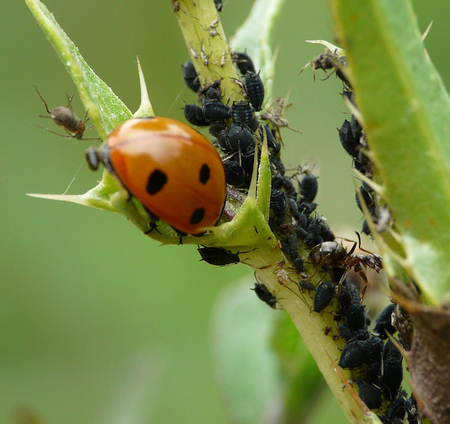 Ladybird with Aphids and Ant