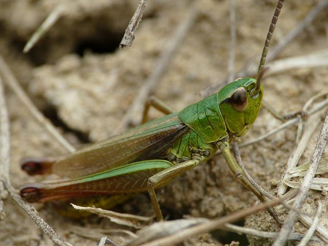 Meadow Grasshopper Male