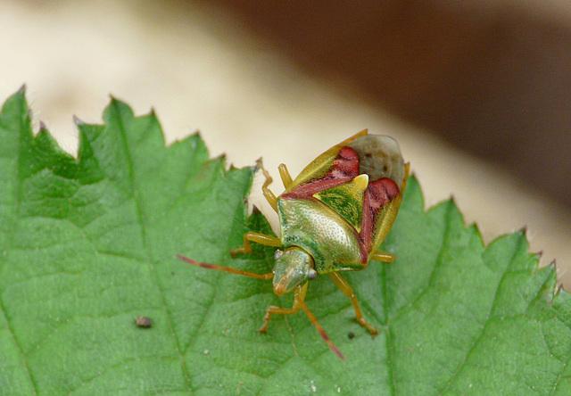 Juniper Shieldbug Angel