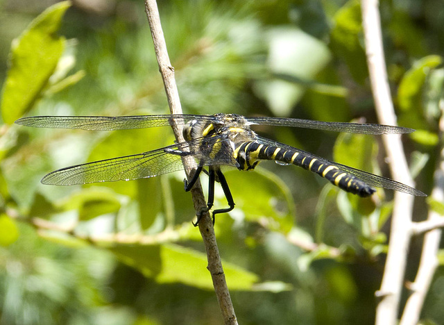 Gold-ringed Dragonfly Male 5
