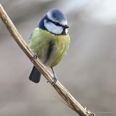 Bluetit on a clematis