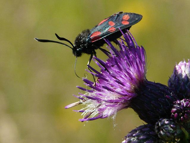 Six Spot Burnet Moth Side