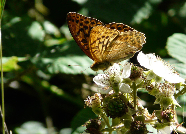 Silver Washed Fritillary 3