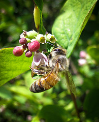 Honeybee on Tiny Pink Flowers