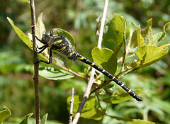 Gold-ringed Dragonfly Male 7