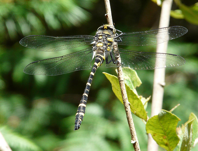 Gold-ringed Dragonfly Male 1