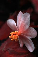 Begonia rex 'Miami Storm'