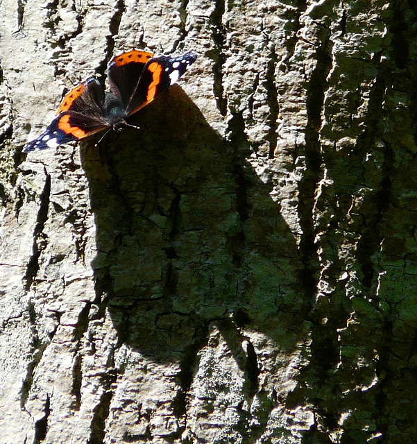 Red Admiral & Shadow