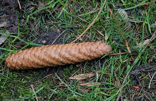 Cône d'epicea commun - Picea abies