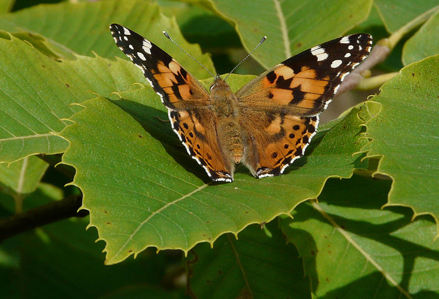 Painted Lady Top