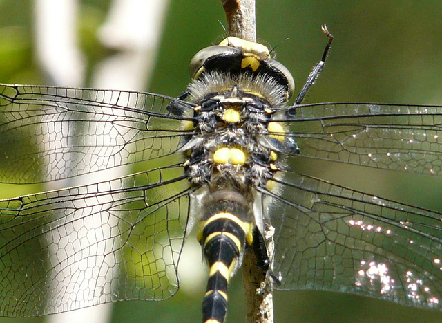 Gold-ringed Dragonfly Male 2