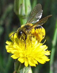 Pollen-Covered Bee on Yellow Flower Close Up