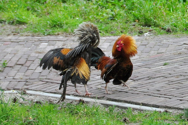 The roosters are at it again