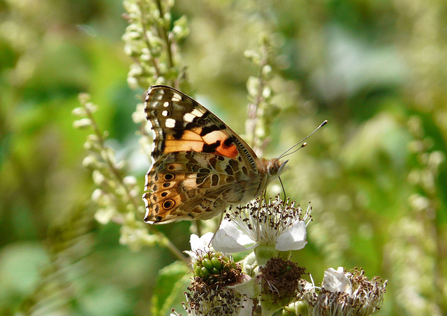 Painted Lady Side