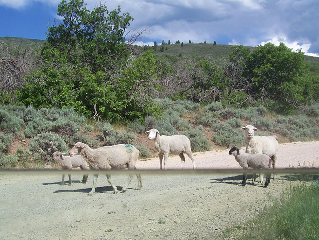Sheep coming down a dirt road in Wallsburg