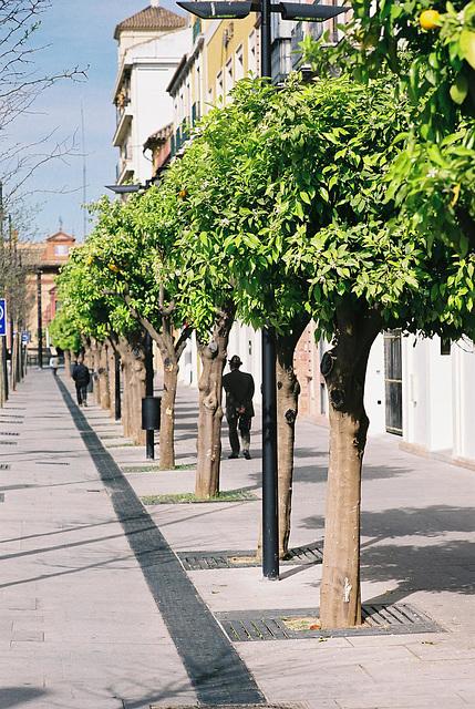 Seville Oranges 1 M7