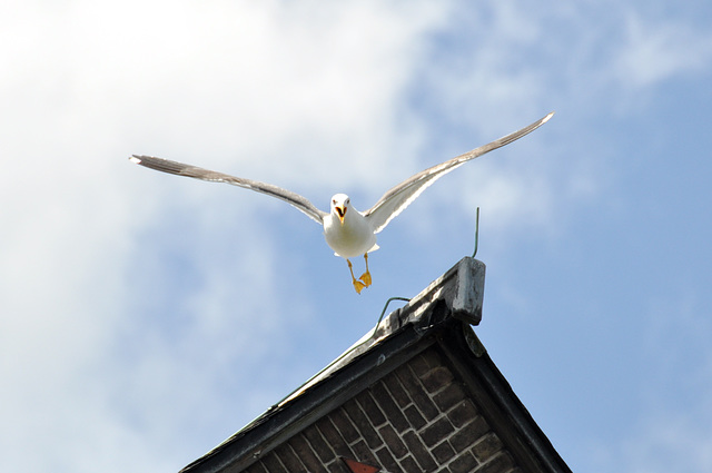 Seagull on the attack