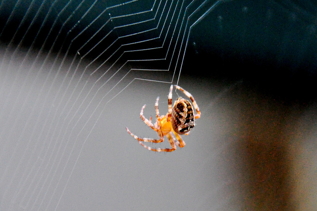 Spider building a new web