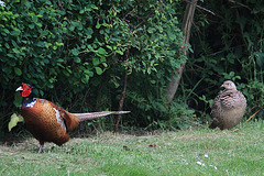 Are you coming with me or not? - A Pheasant Couple!