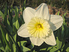 Weiße Narzisse (Narcissus)