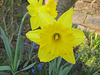 Gelbe Narzissen (Narcissus)