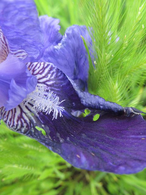 irisdetail