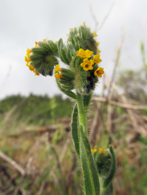 Fiddleneck Flowers