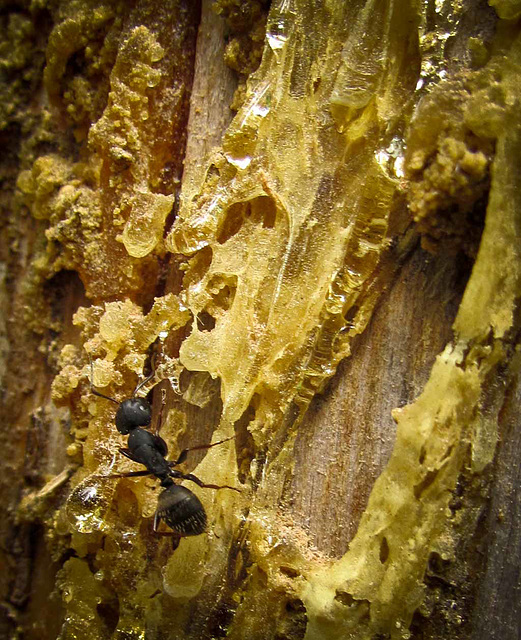 Ant with Pine Sap