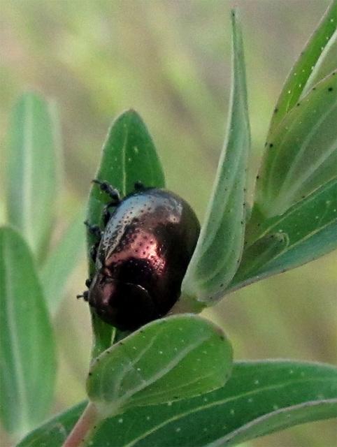 metallicbug