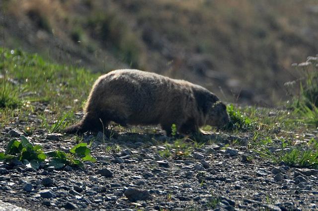Holiday 2009 – Alpine Marmot on the Col de la Bonette