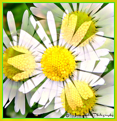 A Sunday morning daisy doodle