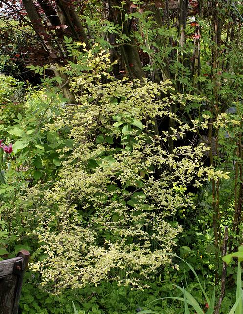 Ulmus parvifolia 'Geisha '