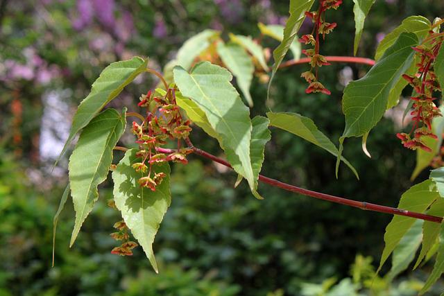 Acer davidii 'Serpentine ' - section jaspés