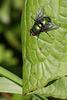Schillernde Fliege (Tierpark Schwaigern)