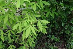 26-Acer sp triflorum ou cissifolium ?