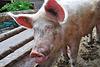 Boerderij 't Geertje – Pig