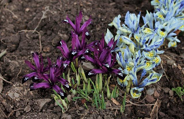 Iris reticulata 'Pauline ' (2)