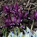 Iris reticulata 'Pauline ' (3)